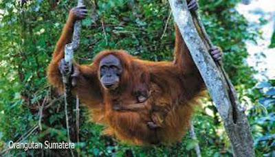 Orangutan Sumatera