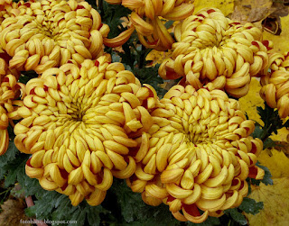 http://fotobabij.blogspot.com/2015/04/chryzantema-wielkokwiatowa-ludo-kwiaty.html