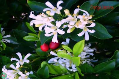 orange jasmine flower, orange jasmine