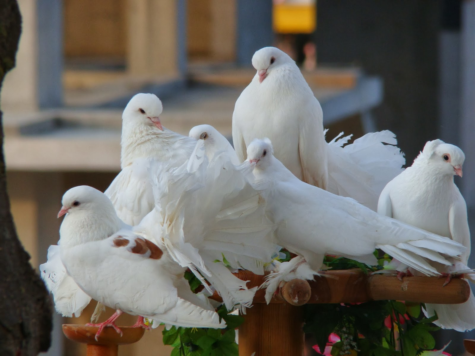 Beautiful And Dangerous Animals Birds Hd Wallpapers: 10 Most Beautiful Pigeon Birds Latest HD Wallpapers 2013