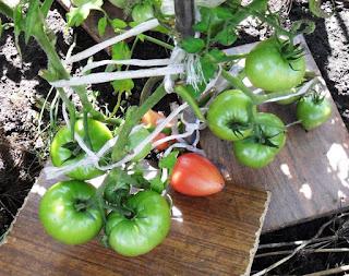 Сорт помидоров МАЛИНОВЫЕ СЕРДЕЧКИ, 2 августа