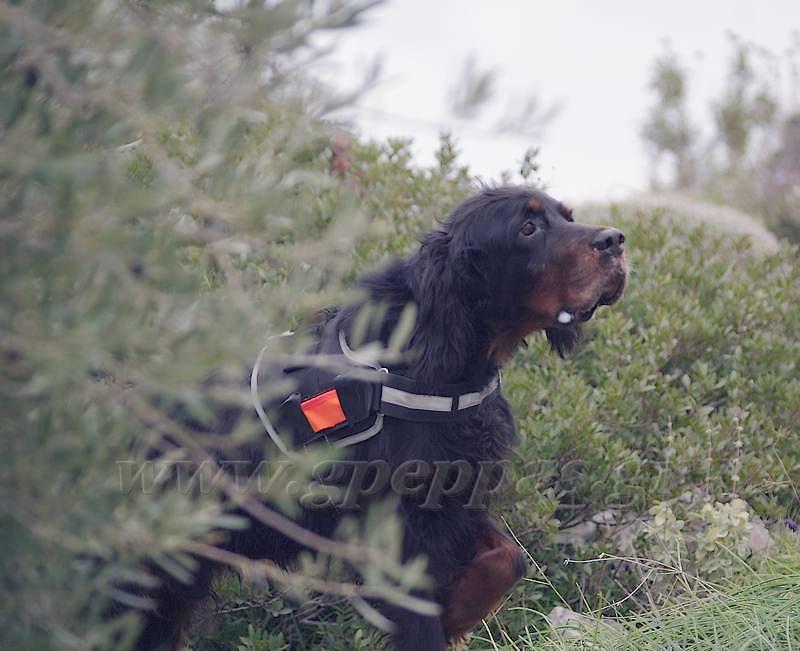 Προπονώντας τον σκύλο για ορεινό κυνήγι. Ulf - Midia !!