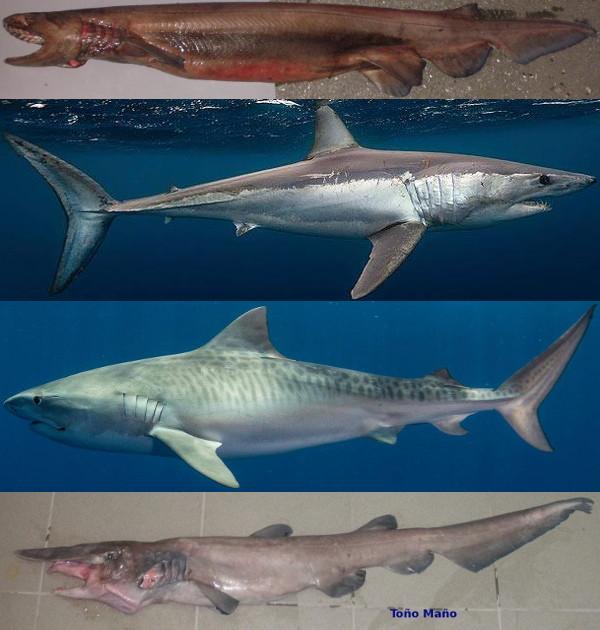 Tiburones en Galicia: Aletas: Formas y funciones