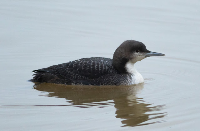 Pacific Diver - Northumberland