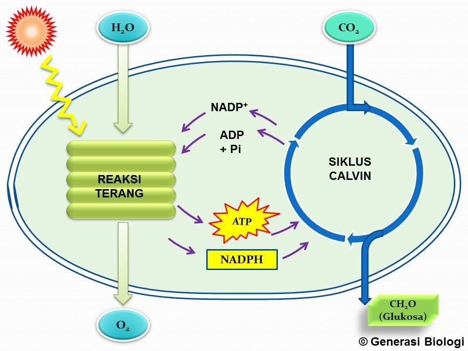 Tahapan Fotosintesis; Reaksi Terang dan Reaksi Gelap