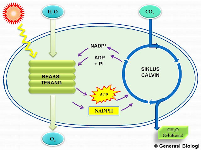 skema fotosintesis, mekanisme fotosintesis pdf, mekanisme fotosintesis secara singkat, mekanisme fotosintesis reaksi, terang dan reaksi gelap, tuliskan mekanisme proses fotosintesis secara lengkap, mekanisme fotosintesis secara lengkap, mekanisme fotosintesis pada tumbuhan, mekanisme respirasi, fotorespirasi dan de etiolasi, mekanisme kerja fotosintesis