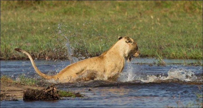 Lion Vs Crocodile Who Would Win