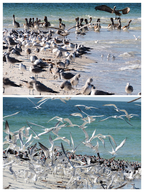 Birds on Pelican Bay Beach near Naples, Florida