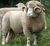 Jenis-Jenis Domba Peliharaan