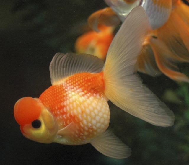 Gel Fish Food Recipe