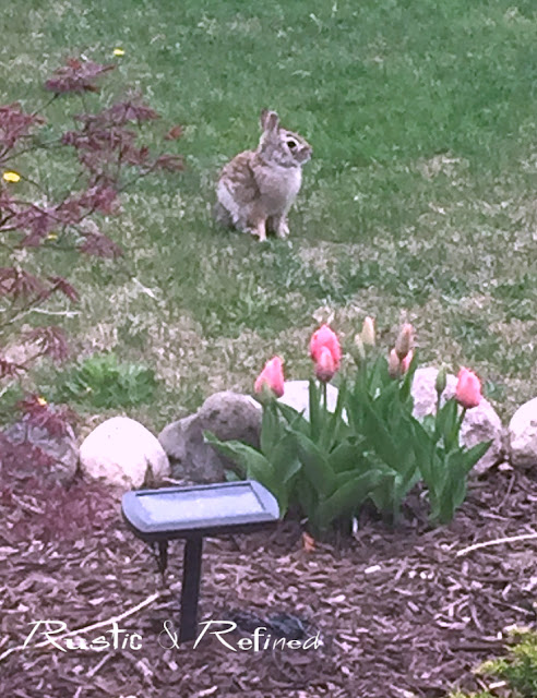rabbit in the garden eyeing my tulips