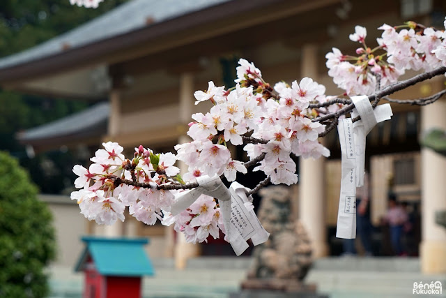 光雲神社の桜、福岡