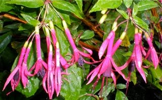 'Zulu King' Fuchsia