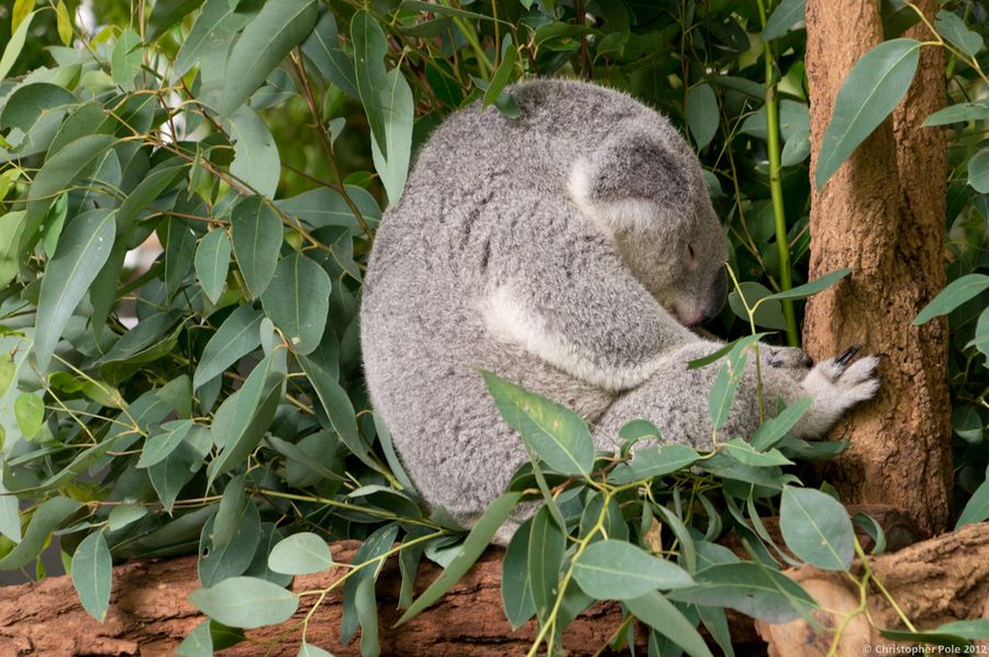 29. Another Koala Sleeps! by Christopher Pole