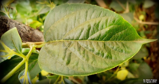Leaf   Holmskioldia sanguinea