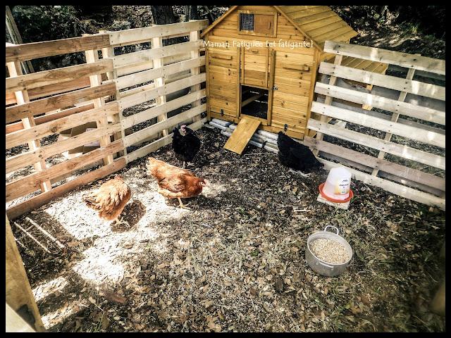 poules rousses et noires