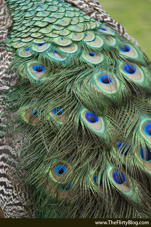photo of peacock tail