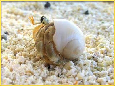 Hermit Crab [Paguroidea] height=
