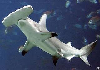 Tubarão Martelo | Características Gerais do Tubarão Martelo