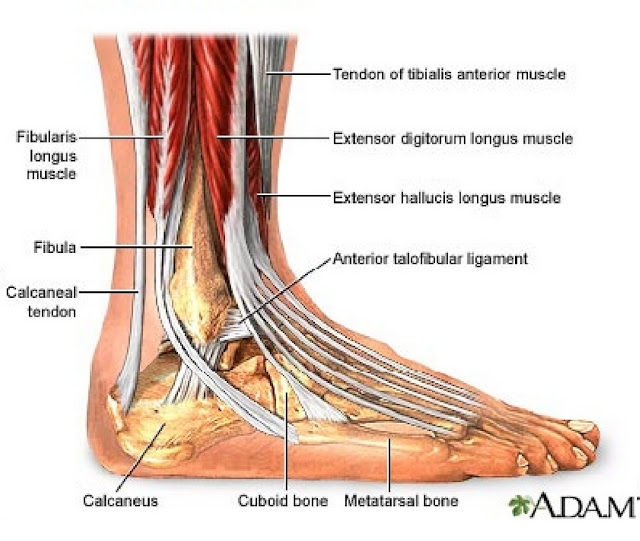 fibularis longus pain - 675×439