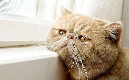 Learning the Signs of Sadness or Depression in Cats