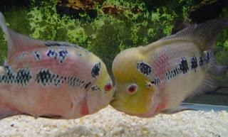 gambar ikan louhan termahal