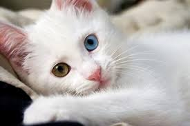 kucing angora berbulu putih dan odd-eyed tembaga dan biru
