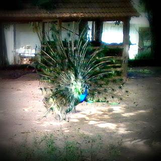 Pavão no Zoológico de Cachoeira do Sul, RS