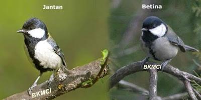 Cara Merawat Burung Gelatik Agar Gacor