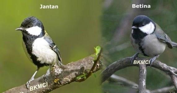 Tips Cara Merawat Burung Gelatik Agar Gacor Dan Buka Sayapbkmci Burung Kicau Mania Club Indonesia