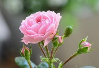 gambar bunga mawar indah 13