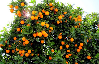 Hybrid Orange