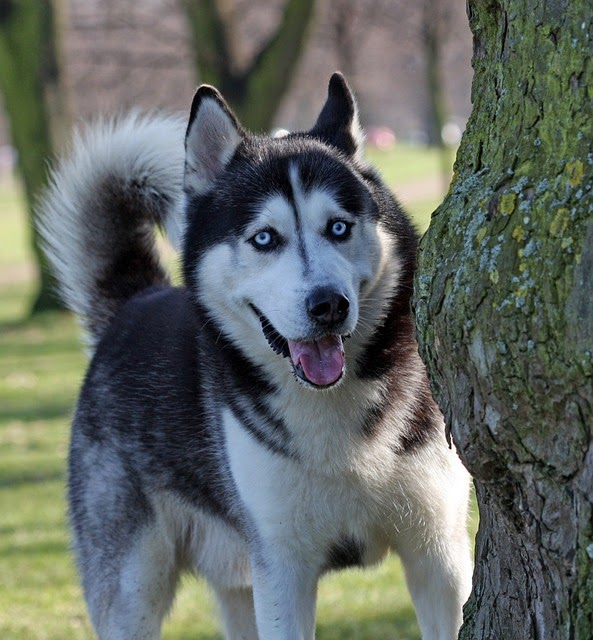 All About Dogs: Siberian Husky Facts