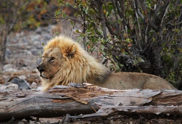 Safari no Parque Nacional de Etosha (um paraíso para ver vida selvagem em África) | Namíbia