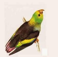 Cotorrita sietecolores: Touit batavicus
