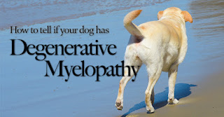 Degenerative Myelopathy, Dealing With Dog Spinal Cord Issues, Dogs Health, Taking care of dogs