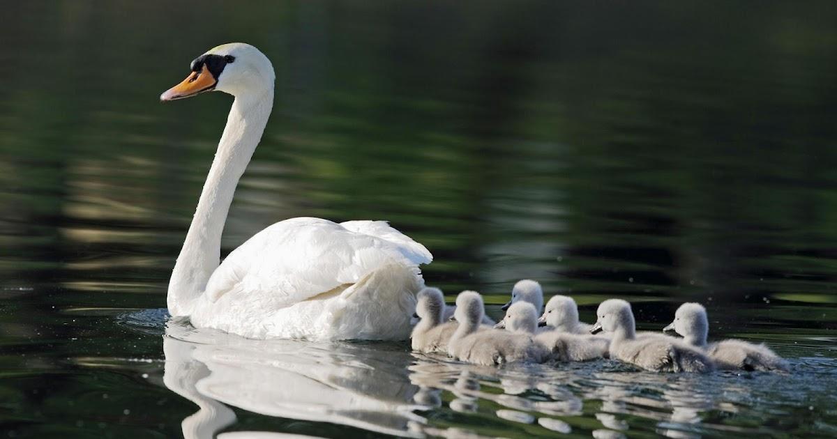 Swan   The Biggest Animals Kingdom