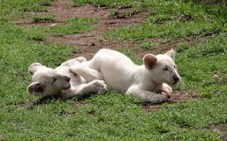 Crece familia de leones blancos en Zoológico de Tlaxcala