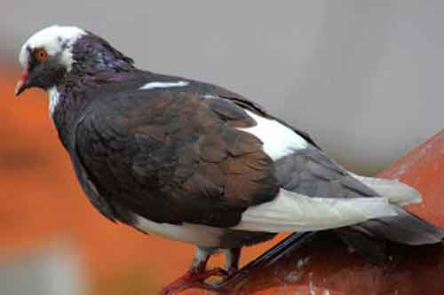 Warna Tlampik - karakter burung merpati
