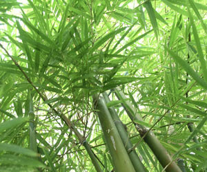 this is especially true for giant bamboo some tropical species however may require some shade during the hottest parts of the day - Growing Bamboo
