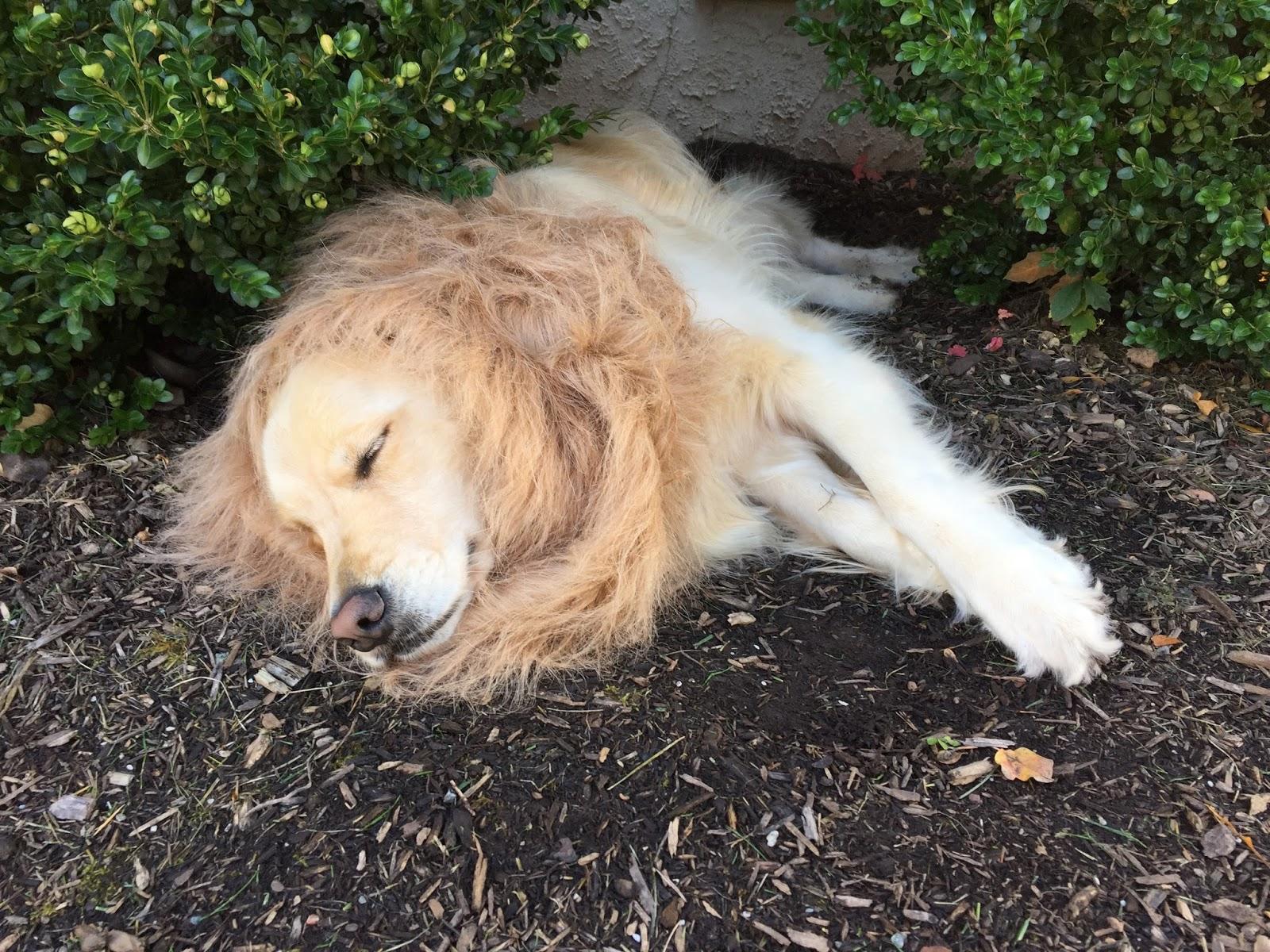 Sleeping Golden in lion costume