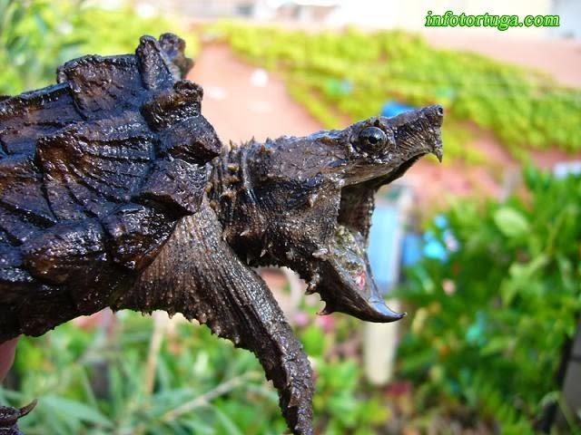 Macrochelys temminckii - Tortuga aligátor