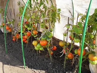 Безрассадные помидоры сорт ТОЛСТЫЙ ДЖЕК поспели, 23 августа
