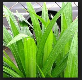 Ciri-Ciri Perbedaan Tumbuhan Monokotil dan Dikotil