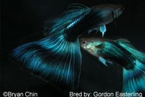 Half Black Blue Gordon