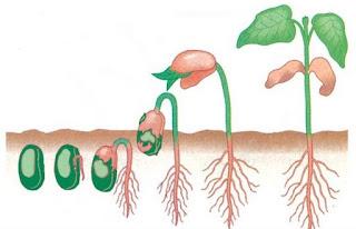 Pengertian dan Faktor-faktor yang Mempengaruhi Pertumbuhan dan Perkembangan Tumbuhan dan Tanaman