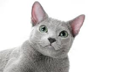 Russian Blue is Most Attractive Cat Breeds