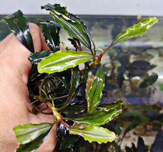 Tanaman Akuarium Bucephalandra Sp