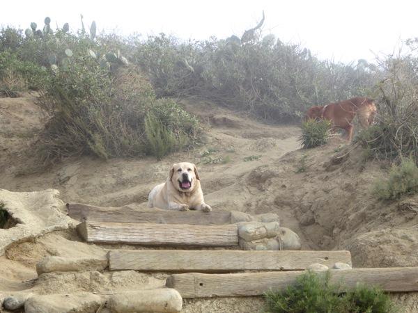 Labrador Cooper Runyon Canyon