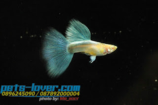 Jual Guppy Blue Sky,  Harga Guppy Blue Sky,  Toko Guppy Blue Sky,  Diskon Guppy Blue Sky,  Beli Guppy Blue Sky,  Review Guppy Blue Sky,  Promo Guppy Blue Sky,  Spesifikasi Guppy Blue Sky,  Guppy Blue Sky Murah,  Guppy Blue Sky Asli,  Guppy Blue Sky Original,  Guppy Blue Sky Jakarta,  Jenis Guppy Blue Sky,  Budidaya Guppy Blue Sky,  Peternak Guppy Blue Sky,  Cara Merawat Guppy Blue Sky,  Tips Merawat Guppy Blue Sky,  Bagaimana cara merawat Guppy Blue Sky,  Bagaimana mengobati Guppy Blue Sky,  Ciri-Ciri Hamil Guppy Blue Sky,  Kandang Guppy Blue Sky,  Ternak Guppy Blue Sky,  Makanan Guppy Blue Sky,  Guppy Blue Sky Termahal,  Adopsi Guppy Blue Sky,  Jual Cepat Guppy Blue Sky,  Guppy Blue Sky  Jakarta,  Guppy Blue Sky  Bandung,  Guppy Blue Sky  Medan,  Guppy Blue Sky  Bali,  Guppy Blue Sky  Makassar,  Guppy Blue Sky  Jambi,  Guppy Blue Sky  Pekanbaru,  Guppy Blue Sky  Palembang,  Guppy Blue Sky  Sumatera,  Guppy Blue Sky  Langsa,  Guppy Blue Sky  Lhokseumawe,  Guppy Blue Sky  Meulaboh,  Guppy Blue Sky  Sabang,  Guppy Blue Sky  Subulussalam,  Guppy Blue Sky  Denpasar,  Guppy Blue Sky  Pangkalpinang,  Guppy Blue Sky  Cilegon,  Guppy Blue Sky  Serang,  Guppy Blue Sky  Tangerang Selatan,  Guppy Blue Sky  Tangerang,  Guppy Blue Sky  Bengkulu,  Guppy Blue Sky  Gorontalo,  Guppy Blue Sky  guppy,  Guppy Blue Sky  tropical fish,  Guppy Blue Sky  aquarium fish,  Guppy Blue Sky  bubble guppies games,  Guppy Blue Sky  guppy fish,  Guppy Blue Sky  bubble guppies videos,  Guppy Blue Sky  bubble guppies episodes,  Guppy Blue Sky  bubble guppies full episodes,  Guppy Blue Sky  super guppy,  Guppy Blue Sky  bubble guppies cast,  Guppy Blue Sky  aquarium online,  Guppy Blue Sky  bubble guppies songs,  Guppy Blue Sky  tetra aquarium,  Guppy Blue Sky  guppies for sale,  Guppy Blue Sky  pregnant guppy,  Guppy Blue Sky  bubble guppies characters,  Guppy Blue Sky  bubble guppy,  Guppy Blue Sky  bubble guppies names,  Guppy Blue Sky  guppies fish,  Guppy Blue Sky  guppy breeding,  Guppy Blue Sky  breeding guppies,  Guppy Blue Sky  bubble guppie,  Guppy Blue Sky  nick jr bubble guppies,  Guppy Blue Sky  bubble guppies coloring pages,  Guppy Blue Sky  bubble guppies video,  Guppy Blue Sky  bubble guppy games,  Guppy Blue Sky  guppy aquarium,  Guppy Blue Sky  guppy care,  Guppy Blue Sky  baby guppies,  Guppy Blue Sky  design aquarium,  Guppy Blue Sky  how to breed guppies,  Guppy Blue Sky  endlers guppy,  Guppy Blue Sky  bubble guppies wiki,  Guppy Blue Sky  bubble guppies game,  Guppy Blue Sky  guppies care,  Guppy Blue Sky  guppy fry,  Guppy Blue Sky  male guppies,  Guppy Blue Sky  buble guppies,  Guppy Blue Sky  guppy fish care,  Guppy Blue Sky  female guppies,  Guppy Blue Sky  female guppy,  Guppy Blue Sky  guppy tank,  Guppy Blue Sky  types of guppies,  Guppy Blue Sky  online aquarium,  Guppy Blue Sky  guppies aquarium,  Guppy Blue Sky  pregnant guppies,  Guppy Blue Sky  guppy giving birth,  Guppy Blue Sky  what do guppies eat,  Guppy Blue Sky  guppy life span,  Guppy Blue Sky  guppy pond,  Guppy Blue Sky  guppy grass,  Guppy Blue Sky  guppies breeding,  Guppy Blue Sky  aquarium guppy,  Guppy Blue Sky  guppies giving birth,  Guppy Blue Sky  bubble guppies pictures,  Guppy Blue Sky  bubble guppies show,  Guppy Blue Sky  male guppy,  Guppy Blue Sky  guppy fish for sale,  Guppy Blue Sky  pregnant guppy fish,  Guppy Blue Sky  endler guppies,  Guppy Blue Sky  guppy babies,  Guppy Blue Sky  the bubble guppies,  Guppy Blue Sky  bubble guppies images,  Guppy Blue Sky  bubble guppies bubble puppy,  Guppy Blue Sky  guppy food,  Guppy Blue Sky  ferplast aquarium,  Guppy Blue Sky  guppy temperature,  Guppy Blue Sky  the binding isaac,  Guppy Blue Sky  guppy tail,  Guppy Blue Sky  the rebirth of isaac,  Guppy Blue Sky  the binding of isaac rebirth guppy,  Guppy Blue Sky  isaac the game,  Guppy Blue Sky  guppie fish,  Guppy Blue Sky  guppy fish breeding,  Guppy Blue Sky  guppy for sale,  Guppy Blue Sky  guppy tank mates,  Guppy Blue Sky  aquarium shop online,  Guppy Blue Sky  guppy gestation,  Guppy Blue Sky  the binding of isaac guppy,  Guppy Blue Sky  keeping guppies,  Guppy Blue Sky  guppy definition,  Guppy Blue Sky  guppy meaning,  Guppy Blue Sky  guppy breathing,  Guppy Blue Sky  fish tropical,  Guppy Blue Sky  endlers guppies,  Guppy Blue Sky  baby guppy,  Guppy Blue Sky  nickelodeon bubble guppies,  Guppy Blue Sky  guppy fish tank,  Guppy Blue Sky  guppy types,  Guppy Blue Sky  guppy fish types,  Guppy Blue Sky  guppy diseases,  Guppy Blue Sky  the binding of isaac 2,  Guppy Blue Sky  isaac the binding,  Guppy Blue Sky  wild guppies,  Guppy Blue Sky  wild guppy,  Guppy Blue Sky  fantail guppies,  Guppy Blue Sky  guppy pregnancy,  Guppy Blue Sky  lyretail guppy,  Guppy Blue Sky  pregnant guppy stages,  Guppy Blue Sky  guppy pregnant,  Guppy Blue Sky  male and female guppies,  Guppy Blue Sky  bubble guppys,  Guppy Blue Sky  guppy birth,  Guppy Blue Sky  do guppies need a heater,  Guppy Blue Sky  pictures of guppies,  Guppy Blue Sky  guppy fish life span,  Guppy Blue Sky  guppy water temperature,  Guppy Blue Sky  show guppies,  Guppy Blue Sky  black guppy,  Guppy Blue Sky  red guppy,  Guppy Blue Sky  binding isaac wiki,  Guppy Blue Sky  binding of isaac 2,  Guppy Blue Sky  moscow guppy,  Guppy Blue Sky  guppy forum,  Guppy Blue Sky  guppies online,  Guppy Blue Sky  fantail guppy,  Guppy Blue Sky  yellow guppy,  Guppy Blue Sky  snakeskin guppy,  Guppy Blue Sky  guppy fry growth chart,  Guppy Blue Sky  guppy fish food,  Guppy Blue Sky  temperature for guppies,  Guppy Blue Sky  water temperature for guppies,  Guppy Blue Sky  guppy games,  Guppy Blue Sky  black moscow guppy,  Guppy Blue Sky  full red guppy,  Guppy Blue Sky  blue moscow guppy,  Guppy Blue Sky  game isaac,  Guppy Blue Sky  male guppy fish,  Guppy Blue Sky  guppy varieties,  Guppy Blue Sky  albino guppy,  Guppy Blue Sky  guppy pregnancy stages,  Guppy Blue Sky  tequila sunrise guppy,  Guppy Blue Sky  guppy fin rot,  Guppy Blue Sky  guppy genetics,  Guppy Blue Sky  pink guppy,  Guppy Blue Sky  the guppy,  Guppy Blue Sky  highland guppy,  Guppy Blue Sky  guppy breeding tank,  Guppy Blue Sky  guppy breeds,  Guppy Blue Sky  show guppies for sale,  Guppy Blue Sky  guppies for sale uk,  Guppy Blue Sky  is my guppy pregnant,  Guppy Blue Sky  guppies having babies,  Guppy Blue Sky  guppy female,  Guppy Blue Sky  guppy fry care,  Guppy Blue Sky  do guppies need a filter,  Guppy Blue Sky  do guppies eat their babies,  Guppy Blue Sky  do guppies sleep,  Guppy Blue Sky  aquarium 40 liter,  Guppy Blue Sky  guppy game,  Guppy Blue Sky  neon guppies,  Guppy Blue Sky  neon guppy,  Guppy Blue Sky  guppy neon,  Guppy Blue Sky  isaac of binding,  Guppy Blue Sky  moscow blue guppy,  Guppy Blue Sky  guppy tail rot,  Guppy Blue Sky  isaac the rebirth,  Guppy Blue Sky  fish guppies,  Guppy Blue Sky  guppies dying,  Guppy Blue Sky  guppy species,  Guppy Blue Sky  guppy gravid spot,  Guppy Blue Sky  the of isaac,  Guppy Blue Sky  breeding guppies for beginners,  Guppy Blue Sky  guppy breeding cycle,  Guppy Blue Sky  female guppies for sale,  Guppy Blue Sky  guppies pregnant,  Guppy Blue Sky  pregnant female guppy,  Guppy Blue Sky  caring for guppies,  Guppy Blue Sky  guppies babies,  Guppy Blue Sky  guppy fry growth,  Guppy Blue Sky  guppy tank setup,  Guppy Blue Sky  guppy fish giving birth,  Guppy Blue Sky  guppy fry food,  Guppy Blue Sky  different types of guppies,  Guppy Blue Sky  types of guppy,  Guppy Blue Sky  guppy pictures,  Guppy Blue Sky  aquarium voor beginners,  Guppy Blue Sky  guppy life cycle,  Guppy Blue Sky  guppies temperature,  Guppy Blue Sky  guppy gestation period,  Guppy Blue Sky  the binding of the isaac,  Guppy Blue Sky  feeding guppies,  Guppy Blue Sky  guppi fish,  Guppy Blue Sky  guppy fish facts,  Guppy Blue Sky  guppy breeders,  Guppy Blue Sky  guppy wiki,  Guppy Blue Sky  freshwater guppies,  Guppy Blue Sky  rare guppies,  Guppy Blue Sky  raising guppies,  Guppy Blue Sky  guppy colors,  Guppy Blue Sky  guppy strains,  Guppy Blue Sky  guppy size,  Guppy Blue Sky  turquoise guppy,  Guppy Blue Sky  leopard guppy,  Guppy Blue Sky  guppy love,  Guppy Blue Sky  guppy images,  Guppy Blue Sky  guppy plant,  Guppy Blue Sky  water temp for guppies,  Guppy Blue Sky  guppy breeding setup,  Guppy Blue Sky  guppies for sale online,  Guppy Blue Sky  guppys aquarium,  Guppy Blue Sky  guppy fish pregnant,  Guppy Blue Sky  guppy care sheet,  Guppy Blue Sky  endler guppy hybrid,  Guppy Blue Sky  baby guppy fish,  Guppy Blue Sky  female guppy fish,  Guppy Blue Sky  bubble guppies nickelodeon,  Guppy Blue Sky  guppy tanks,  Guppy Blue Sky  guppies food,  Guppy Blue Sky  best food for guppies,  Guppy Blue Sky  tropical guppies,  Guppy Blue Sky  black guppy fish,  Guppy Blue Sky  black moscow guppies,  Guppy Blue Sky  gestation period for guppies,  Guppy Blue Sky  blue neon guppy,  Guppy Blue Sky  red mosaic guppy,  Guppy Blue Sky  betta and guppies,  Guppy Blue Sky  guppy fishes,  Guppy Blue Sky  fish compatible with guppies,  Guppy Blue Sky  what is a guppy fish,  Guppy Blue Sky  guppy s,  Guppy Blue Sky  guppy guppy,  Guppy Blue Sky  guppy facts,  Guppy Blue Sky  guppy behavior,  Guppy Blue Sky  green guppy,  Guppy Blue Sky  white guppy,  Guppy Blue Sky  guppy dropsy,  Guppy Blue Sky  purple guppy,  Guppy Blue Sky  bloated guppy,  Guppy Blue Sky  angelfish and guppies,  Guppy Blue Sky  fin rot guppy,  Guppy Blue Sky  guppies keep dying,  Guppy Blue Sky  mollies and guppies,  Guppy Blue Sky  stages of guppy pregnancy,  Guppy Blue Sky  south african guppies,  Guppy Blue Sky  mosaic guppy,  Guppy Blue Sky  guppy cartoon,  Guppy Blue Sky  breeding guppy,  Guppy Blue Sky  aquarium guppies,  Guppy Blue Sky  pregnant guppie,  Guppy Blue Sky  female guppy pregnant,  Guppy Blue Sky  guppy tank size,  Guppy Blue Sky  guppies tank mates,  Guppy Blue Sky  do guppies give live birth,  Guppy Blue Sky  buy guppies,  Guppy Blue Sky  food for guppies,  Guppy Blue Sky  types of guppy fish,  Guppy Blue Sky  guppy disease,  Guppy Blue Sky  tropical fish guppies,  Guppy Blue Sky  black guppies,  Guppy Blue Sky  guppy black,  Guppy Blue Sky  red guppies,  Guppy Blue Sky  red guppy fish,  Guppy Blue Sky  moscow guppies,  Guppy Blue Sky  guppies and bettas,  Guppy Blue Sky  guppy fish information,  Guppy Blue Sky  guppy fish images,  Guppy Blue Sky  all about guppies,  Guppy Blue Sky  guppy breeder,  Guppy Blue Sky  guppys online,  Guppy Blue Sky  guppy poecilia reticulata,  Guppy Blue Sky  guppy a,  Guppy Blue Sky  purple guppies,  Guppy Blue Sky  beautiful guppies,  Guppy Blue Sky  guppy pdf,  Guppy Blue Sky  guppy swimming vertically,  Guppy Blue Sky  guppy names,  Guppy Blue Sky  yellow guppies,  Guppy Blue Sky  male guppies fighting,  Guppy Blue Sky  guppies and tetras,  Guppy Blue Sky  saltwater guppies,  Guppy Blue Sky  guppies and mollies,  Guppy Blue Sky  the guppies,  Guppy Blue Sky  breeding guppies in community tank,  Guppy Blue Sky  breed guppies,  Guppy Blue Sky  live guppies for sale,  Guppy Blue Sky  guppies fish for sale,  Guppy Blue Sky  breeding guppies for profit,  Guppy Blue Sky  guppies aquarium products,  Guppy Blue Sky  taking care of guppies,  Guppy Blue Sky  guppies fish care,  Guppy Blue Sky  john endler guppies,  Guppy Blue Sky  guppy fish babies,  Guppy Blue Sky  male and female guppy,  Guppy Blue Sky  guppy fry development,  Guppy Blue Sky  guppy fry stages,  Guppy Blue Sky  guppies fish tank,  Guppy Blue Sky  guppies tank,  Guppy Blue Sky  guppy fry tank,  Guppy Blue Sky  female guppy giving birth,  Guppy Blue Sky  pregnant guppy giving birth,  Guppy Blue Sky  guppies birth,  Guppy Blue Sky  guppy give birth,  Guppy Blue Sky  guppies types,  Guppy Blue Sky  how much do guppies cost,  Guppy Blue Sky  do guppies eat algae,  Guppy Blue Sky  guppy diseases pictures,  Guppy Blue Sky  pregnant guppy pictures,  Guppy Blue Sky  pictures of guppy fish,  Guppy Blue Sky  guppy fish diseases,  Guppy Blue Sky  show guppy,  Guppy Blue Sky  guppy tropical fish,  Guppy Blue Sky  guppies tropical fish,  Guppy Blue Sky  half black guppy,  Guppy Blue Sky  neon blue guppy,  Guppy Blue Sky  guppies and neon tetras,  Guppy Blue Sky  binding of the isaac,  Guppy Blue Sky  moscow blue guppies,  Guppy Blue Sky  of isaac game,  Guppy Blue Sky  feeding guppy fry,  Guppy Blue Sky  game the binding of isaac,  Guppy Blue Sky  the binding of isaac the game,  Guppy Blue Sky  blue guppy fish,  Guppy Blue Sky  fish that can live with guppies,  Guppy Blue Sky  images of guppy fish,  Guppy Blue Sky  guppy online,  Guppy Blue Sky  albino guppies,  Guppy Blue Sky  pics of guppies,  Guppy Blue Sky  my guppies keep dying,  Guppy Blue Sky  guppy colours,  Guppy Blue Sky  guppy growth chart,  Guppy Blue Sky  golden guppy,  Guppy Blue Sky  colorful guppies,  Guppy Blue Sky  columnaris guppy,  Guppy Blue Sky  guppy diet,  Guppy Blue Sky  dragon guppy,  Guppy Blue Sky  atfg guppy,  Guppy Blue Sky  blue diamond guppy,  Guppy Blue Sky  gold guppy,  Guppy Blue Sky  guppy scientific name,  Guppy Blue Sky  guppies fighting,  Guppy Blue Sky  pingu guppy,  Guppy Blue Sky  trinidadian guppies,  Guppy Blue Sky  dropsy guppy,  Guppy Blue Sky  fat guppy,  Guppy Blue Sky  guppy guppies,  Guppy Blue Sky  guppy singapore,  Guppy Blue Sky  sunset guppy,  Guppy Blue Sky  guppy natural habitat,  Guppy Blue Sky  guppies breeding cycle,  Guppy Blue Sky  breeding tank for guppies,  Guppy Blue Sky  guppy breeding guide,  Guppy Blue Sky  guppies fish breeding,  Guppy Blue Sky  guppy breeding trap,  Guppy Blue Sky  guppy breeding tank setup,  Guppy Blue Sky  guppy sale,  Guppy Blue Sky  rare guppies for sale,  Guppy Blue Sky  endler guppies for sale,  Guppy Blue Sky  aquarium de guppy,  Guppy Blue Sky  pregnant guppy behavior,  Guppy Blue Sky  guppie care,  Guppy Blue Sky  guppy care guide,  Guppy Blue Sky  baby guppy care,  Guppy Blue Sky  guppy having babies,  Guppy Blue Sky  guppies male or female,  Guppy Blue Sky  guppies female,  Guppy Blue Sky  guppy fish female,  Guppy Blue Sky  guppies fry,  Guppy Blue Sky  raising guppy fry,  Guppy Blue Sky  guppy birth signs,  Guppy Blue Sky  guppies live birth,  Guppy Blue Sky  guppy fish pictures,  Guppy Blue Sky  guppies pictures,  Guppy Blue Sky  female guppy pictures,  Guppy Blue Sky  life cycle of a guppy,  Guppy Blue Sky  guppies water temperature,  Guppy Blue Sky  tropical fish guppy,  Guppy Blue Sky  tropical guppy,  Guppy Blue Sky  moscow black guppy,  Guppy Blue Sky  neon tetras and guppies,  Guppy Blue Sky  guppy tails,  Guppy Blue Sky  guppy feeding,  Guppy Blue Sky  bettas and guppies,  Guppy Blue Sky  guppies and betta,  Guppy Blue Sky  can guppies live with bettas,  Guppy Blue Sky  guppy fish price,  Guppy Blue Sky  guppy fish varieties,  Guppy Blue Sky  wild guppy fish,  Guppy Blue Sky  guppys fish,  Guppy Blue Sky  guppies information,  Guppy Blue Sky  free guppies,  Guppy Blue Sky  blue glass guppy,  Guppy Blue Sky  guppy d,  Guppy Blue Sky  pink guppies,  Guppy Blue Sky  guppy behaviour,  Guppy Blue Sky  common guppy,  Guppy Blue Sky  ribbon guppy,  Guppy Blue Sky  kinds of guppies,  Guppy Blue Sky  gonopodium guppy,  Guppy Blue Sky  rare guppy,  Guppy Blue Sky  guppy compatibility,  Guppy Blue Sky  pretty guppies,  Guppy Blue Sky  snakeskin guppies,  Guppy Blue Sky  guppy anatomy,  Guppy Blue Sky  green guppies,  Guppy Blue Sky  guppies in the wild,  Guppy Blue Sky  guppy growth,  Guppy Blue Sky  guppy water temp,  Guppy Blue Sky  guppy swim bladder,  Guppy Blue Sky  german yellow guppy,  Guppy Blue Sky  guppy videos,  Guppy Blue Sky  cartoon guppy,  Guppy Blue Sky  guppy not eating,  Guppy Blue Sky  exotic guppy,  Guppy Blue Sky  breeding guppys,  Guppy Blue Sky  breeding guppy fish,  Guppy Blue Sky  guppies for sale cheap,  Guppy Blue Sky  guppy breed,  Guppy Blue Sky  cheap guppies for sale,  Guppy Blue Sky  wild guppies for sale,  Guppy Blue Sky  guppys for sale,  Guppy Blue Sky  baby guppies for sale,  Guppy Blue Sky  guppy fry for sale,  Guppy Blue Sky  guppy fish aquarium,  Guppy Blue Sky  aquarium fish guppy,  Guppy Blue Sky  care for guppies,  Guppy Blue Sky  bubble guppies nick,  Guppy Blue Sky  nick bubble guppies,  Guppy Blue Sky  guppie fry,  Guppy Blue Sky  caring for guppy fry,  Guppy Blue Sky  guppy fish tanks,  Guppy Blue Sky  female guppies giving birth,  Guppy Blue Sky  where to buy guppies,  Guppy Blue Sky  fish food for guppies,  Guppy Blue Sky  pictures of pregnant guppies,  Guppy Blue Sky  albino red guppy,  Guppy Blue Sky  moscow green guppy,  Guppy Blue Sky  purple moscow guppies,  Guppy Blue Sky  isaac of rebirth,  Guppy Blue Sky  feeding baby guppies,  Guppy Blue Sky  guppy photo,  Guppy Blue Sky  game binding of isaac,  Guppy Blue Sky  a guppy fish,  Guppy Blue Sky  compatible fish with guppies,  Guppy Blue Sky  live guppies,  Guppy Blue Sky  poecilia reticulata guppy,  Guppy Blue Sky  exotic guppies,  Guppy Blue Sky  guppy price,  Guppy Blue Sky  guppy video,  Guppy Blue Sky  guppy wallpaper,  Guppy Blue Sky  white guppies,  Guppy Blue Sky  lyretail guppies,  Guppy Blue Sky  small guppies,  Guppy Blue Sky  guppy mouth,  Guppy Blue Sky  blonde guppy,  Guppy Blue Sky  peacock guppy,  Guppy Blue Sky  looking after guppies,  Guppy Blue Sky  guppy bent spine,  Guppy Blue Sky  plants for guppies,  Guppy Blue Sky  guppy predators,  Guppy Blue Sky  beautiful guppy,  Guppy Blue Sky  guppy eyes,  Guppy Blue Sky  guppy gonopodium,  Guppy Blue Sky  singapore guppy,  Guppy Blue Sky  dropsy in guppies,  Guppy Blue Sky  guppy fungus,  Guppy Blue Sky  gubbi fish,  Guppy Blue Sky  selective breeding guppies,  Guppy Blue Sky  breeding mollies and guppies,  Guppy Blue Sky  breeds of guppies,  Guppy Blue Sky  guppies sale,  Guppy Blue Sky  guppy breeding net,  Guppy Blue Sky  rare guppy breeds,  Guppy Blue Sky  guppie breeding,  Guppy Blue Sky  albino guppies for sale,  Guppy Blue Sky  blue guppies for sale,  Guppy Blue Sky  pregnant guppies for sale,  Guppy Blue Sky  guppy aquariums,  Guppy Blue Sky  aquarium a guppy,  Guppy Blue Sky  care of guppies,  Guppy Blue Sky  baby guppies care,  Guppy Blue Sky  guppy baby fish,  Guppy Blue Sky  guppy male female,  Guppy Blue Sky  male female guppies,  Guppy Blue Sky  bubble guppies on nick jr,  Guppy Blue Sky  guppy breeder tank,  Guppy Blue Sky  buy guppy fish,  Guppy Blue Sky  baby guppy food,  Guppy Blue Sky  type of guppies,  Guppy Blue Sky  do guppies need air pump,  Guppy Blue Sky  pictures of guppies fish,  Guppy Blue Sky  picture of guppies,  Guppy Blue Sky  female guppies pictures,  Guppy Blue Sky  guppy picture,  Guppy Blue Sky  guppies life span,  Guppy Blue Sky  life span of guppies,  Guppy Blue Sky  guppy life expectancy,  Guppy Blue Sky  show quality guppies,  Guppy Blue Sky  breeding show guppies,  Guppy Blue Sky  tropical guppy fish,  Guppy Blue Sky  guppy fish game,  Guppy Blue Sky  guppies gestation period,  Guppy Blue Sky  guppies gestation,  Guppy Blue Sky  fan tail guppies,  Guppy Blue Sky  fan tailed guppies,  Guppy Blue Sky  dragon tail guppy,  Guppy Blue Sky  the rebirth of isaac game,  Guppy Blue Sky  the isaac game,  Guppy Blue Sky  guppies feeding,  Guppy Blue Sky  guppy photos,  Guppy Blue Sky  about guppy fish,  Guppy Blue Sky  yellow guppy fish,  Guppy Blue Sky  guppy fish bowl,  Guppy Blue Sky  selling guppies,  Guppy Blue Sky  guppy pics,  Guppy Blue Sky  about guppies,  Guppy Blue Sky  ifga guppies,  Guppy Blue Sky  taiwan guppy,  Guppy Blue Sky  guppies price,  Guppy Blue Sky  different kinds of guppies,  Guppy Blue Sky  guppy blog,  Guppy Blue Sky  guppy plants,  Guppy Blue Sky  guppy green,  Guppy Blue Sky  tankmates for guppies,  Guppy Blue Sky  freshwater guppy,  Guppy Blue Sky  tequila sunrise guppies,  Guppy Blue Sky  endless guppy,  Guppy Blue Sky  platies and guppies,  Guppy Blue Sky  guppy parasites,  Guppy Blue Sky  guppy pet,  Guppy Blue Sky  guppy illness,  Guppy Blue Sky  pet guppies,  Guppy Blue Sky  guppy white,  Guppy Blue Sky  guppies species,  Guppy Blue Sky  hybrid guppies,  Guppy Blue Sky  breeding tanks for guppies,  Guppy Blue Sky  guppy breeding tanks,  Guppy Blue Sky  guppy care and breeding,  Guppy Blue Sky  breeding guppies for feeders,  Guppy Blue Sky  guppy fish sale,  Guppy Blue Sky  breeding guppies for sale,  Guppy Blue Sky  guppy aquarium fish,  Guppy Blue Sky  aquarium guppy fish,  Guppy Blue Sky  guppies aquariums,  Guppy Blue Sky  pregnant guppys,  Guppy Blue Sky  pregnant female guppies,  Guppy Blue Sky  raising baby guppies,  Guppy Blue Sky  guppy fry color,  Guppy Blue Sky  guppy fry size,  Guppy Blue Sky  guppy birthing process,  Guppy Blue Sky  buying guppies,  Guppy Blue Sky  buy guppy fish online,  Guppy Blue Sky  buy guppy,  Guppy Blue Sky  homemade guppy food,  Guppy Blue Sky  pictures of female guppies,  Guppy Blue Sky  pictures of baby guppies,  Guppy Blue Sky  guppies diseases,  Guppy Blue Sky  guppy diseases symptoms,  Guppy Blue Sky  life cycle of guppies,  Guppy Blue Sky  guppy shows,  Guppy Blue Sky  show guppy breeders,  Guppy Blue Sky  is a guppy a tropical fish,  Guppy Blue Sky  binding the isaac,  Guppy Blue Sky  the of isaac game,  Guppy Blue Sky  the game isaac,  Guppy Blue Sky  guppy fish photos,  Guppy Blue Sky  photos of guppies,  Guppy Blue Sky  binding isaac game,  Guppy Blue Sky  binding game,  Guppy Blue Sky  guppies fishing report,  Guppy Blue Sky  all about guppy fish,  Guppy Blue Sky  the guppy fish,  Guppy Blue Sky  how much are guppy fish,  Guppy Blue Sky  is a guppy a fish,  Guppy Blue Sky  guppy fish wiki,  Guppy Blue Sky  guppies fish bowl,  Guppy Blue Sky  cheap guppies,  Guppy Blue Sky  fresh water guppies,  Guppy Blue Sky  how to sell guppies,  Guppy Blue Sky  pond guppies,  Guppy Blue Sky  information about guppies,  Guppy Blue Sky  guppy illnesses,  Guppy Blue Sky  guppy hatchery,  Guppy Blue Sky  guppy store,  Guppy Blue Sky  guppies fin rot,  Guppy Blue Sky  common guppies,  Guppy Blue Sky  guppy prices,  Guppy Blue Sky  guppy mouth fungus,  Guppy Blue Sky  singapore guppies,  Guppy Blue Sky  guppy book,  Guppy Blue Sky  large guppy,  Guppy Blue Sky  breading guppies,  Guppy Blue Sky  malaysia guppy,  Guppy Blue Sky  aggressive guppies,  Guppy Blue Sky  guppies diet,  Guppy Blue Sky  my guppy,  Guppy Blue Sky  robert john lechmere guppy,  Guppy Blue Sky  guppy breading,  Guppy Blue Sky  guppy forums,  Guppy Blue Sky  guppies pics,  Guppy Blue Sky  guppy fin rot treatment,  Guppy Blue Sky  the re-birth,  Guppy Blue Sky  the binding rebirth,  Guppy Blue Sky  guppies aquarium supplies,  Guppy Blue Sky  aquarium mit guppys,  Guppy Blue Sky  guppys im aquarium,  Guppy Blue Sky  fry guppy,  Guppy Blue Sky  where can i buy guppies,  Guppy Blue Sky  breeding guppies for food,  Guppy Blue Sky  guppy fish picture,  Guppy Blue Sky  binding of isaac original,  Guppy Blue Sky  the isaac of binding,  Guppy Blue Sky  rebirth of isaac game,  Guppy Blue Sky  game of isaac,  Guppy Blue Sky  guppies photos,  Guppy Blue Sky  guppy fish breeders,  Guppy Blue Sky  what is guppy fish,  Guppy Blue Sky  guppy water conditions,  Guppy Blue Sky  german guppies,  Guppy Blue Sky  laser beam guppy,  Guppy Blue Sky  the binding of rebirth,  Guppy Blue Sky  the binding of isaac a,  Guppy Blue Sky  guppy rebirth,
